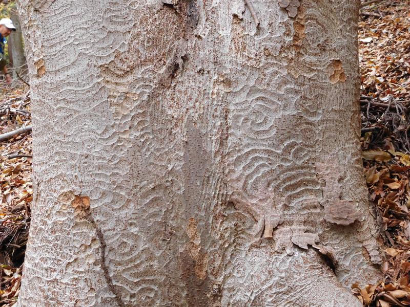 2015年12月 ケヤキ樹皮 撮影年月日:11月22日 場所:タコチバ山