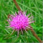 アザミの花を横目に見て、疲れを癒す。