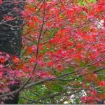 桜の木とモミジの紅葉、春先は逆であったはず、サクラの花が輝いてたはずである。