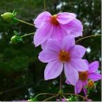 皇帝ダリアの花は、背丈が5m ほどになり幹も太くなる。