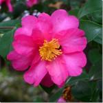 サザンカは椿系の花で、一輪だけ写すと椿の花と勘違いする。