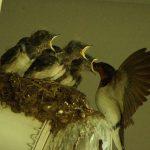 『ツバメ』渡り鳥で泥や枯草などで巣を作る。雛に親鳥が餌を運ぶ。会員番号2756