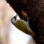 『アオゲラ』キツツキの仲間で頭部や首の朱色がきれいです。嘴で木を叩き虫を誘います。撮影場所 横浜自然公園 投稿(会員番号 2756)
