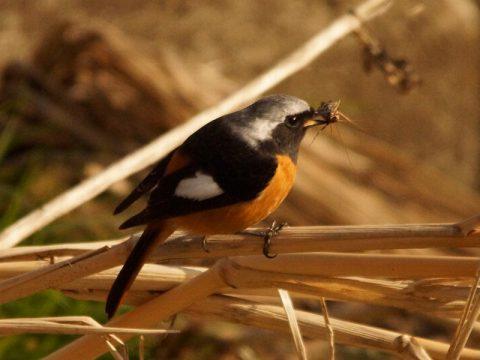 『ジョウビタキ』冬鳥で人家の庭先に現れることもあります。雄の方が濃い色で綺麗です。昆虫や木の実を食べます。撮影場所(四季の森公園)投稿会員番号2756