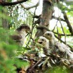 『オオタカの親子最近は都市部でも見られますが絶滅危惧種です。雛は生まれた直後は真っ白です。体長50~60cm。撮影場所 谷戸川公園 会員番号2756