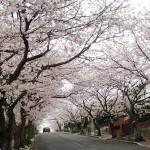 ⑤逗子ハイランド街路樹花のトンネル
