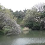 ⑪夫婦池のさくら、盛りを過ぎていた