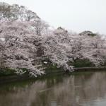⑦鶴岡八幡宮、源氏池の桜
