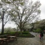 ④金沢自然公園のさくら