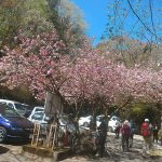 病院の駐車場に咲いている八重桜