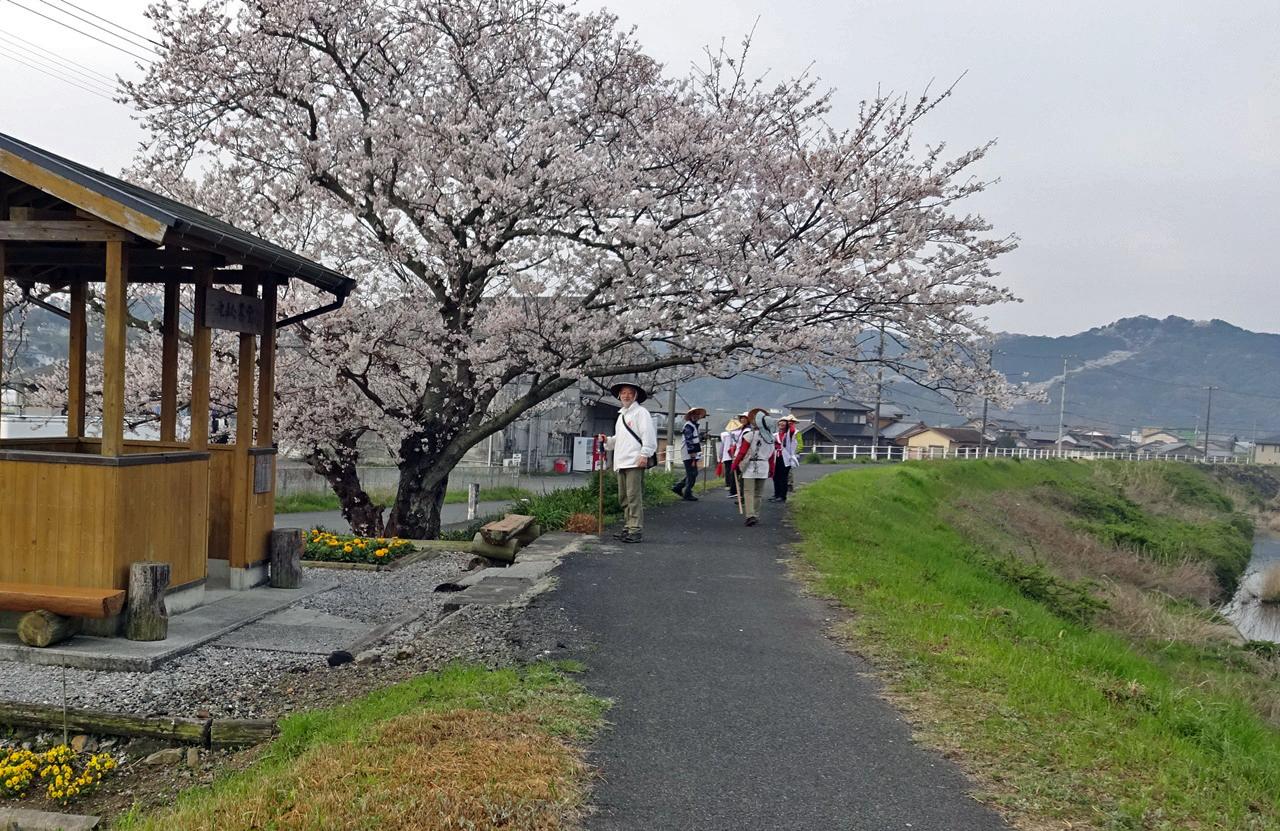 南宇和郡愛南町僧都川沿いを歩く 山の斜面にも桜が見える