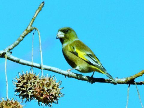 『カワラヒワ』大きさは15cmくらい。嘴が太く短いのが特長。植物の木の実を食べる。撮影場所(横浜市岸根公園)投稿会員番号2756