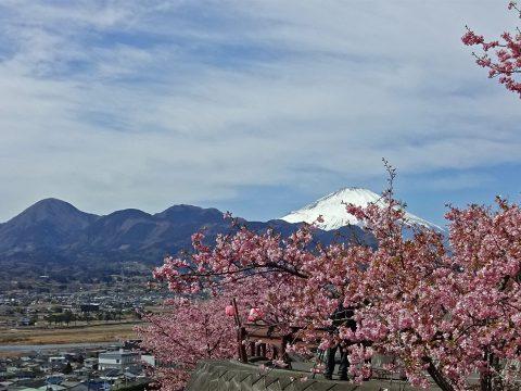松田山の河津桜の奥に富士山と箱根の山並を望む