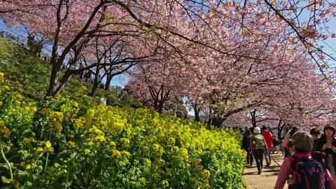 松田山の河津桜と菜の花が満開