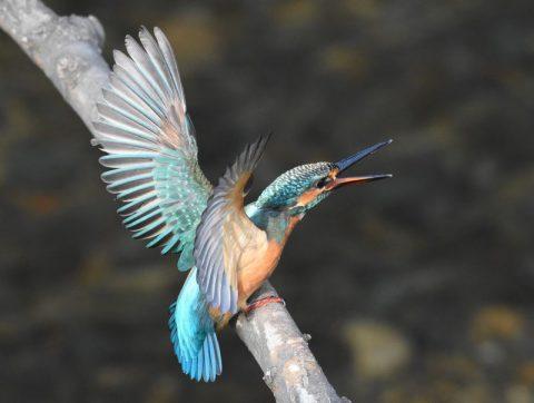 「カワセミ」幼鳥だが、縄張りを主張して、目前にやって来た相手を威嚇して追い払う。姿勢を少し低くして声をあげ、突撃体制をとっています。撮影場所 和泉川にて