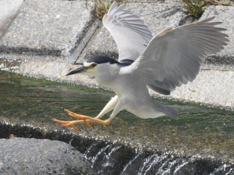 獲物を獲る為、川の淵から流 れの中にある石へと飛び移る。  じっとして時間をかけ、水中 の獲物を探し、一瞬に小魚を捕 食していた。 撮影場所:境川にて 会員番号2329