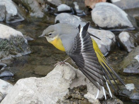 『ストレッチ』(キセキレイ)小川で水浴び、羽繕い、そしてストレッチ。お洒落なキセキレイですが時々路上の車のバックミラーにアタックもします。撮影場所:和泉川 会員番号2329