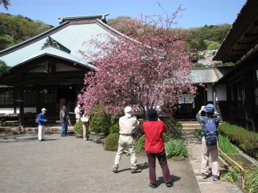 鎌倉カメラ山行-海蔵寺の春