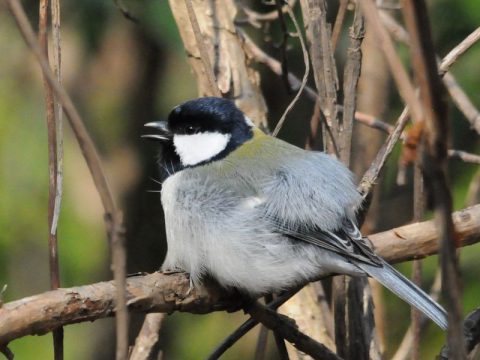 『お腹を空かせて待っていま す』巣立ちして間もない幼鳥、 未だ自分で餌取が出来ませ ん。「腹が空いたよう~」と 鳴いて?餌を獲って来る親 を待っています。 撮影場所:いずみの森公園 会員番号2329