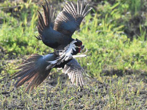 縄張り争いの空中戦』(キジの雄)キジは一夫多妻です。雄の キジは何羽かの雌を得る為、広い縄張り獲得目指し、激しい戦いを繰り広げます! 会員番号 2329