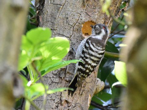 『新居建設中』(コゲラの雄) コツンコツン ( ドラミン グ ) と、木の幹を突っつき巣 作り。 この時は残念ながら巣は 未完成で放棄されました。 雄は頭部に赤い羽毛が見 れます。会員番号2329