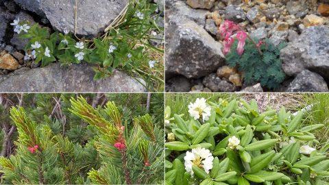 ヒメクワガタ コマクサ ハイマツの花 ハクサンシャクナゲ