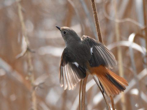 『葦の中で羽搏く』 (ジョウビタキ若鳥)  遊水地の葦原でジョ ウビタキが葦を突いて 餌探し。  飛び立つ時、広げた 羽根の色彩と模様が綺 麗です。会員番号:2329