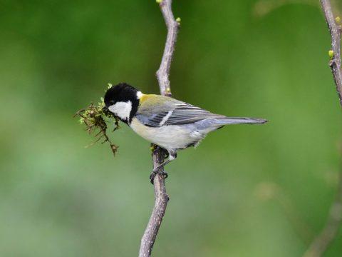 『巣材集め』(シジュウカラ)新たな巣作りを始め たシジュウカラ。巣材 集めに一生懸命です。会員番号:2329