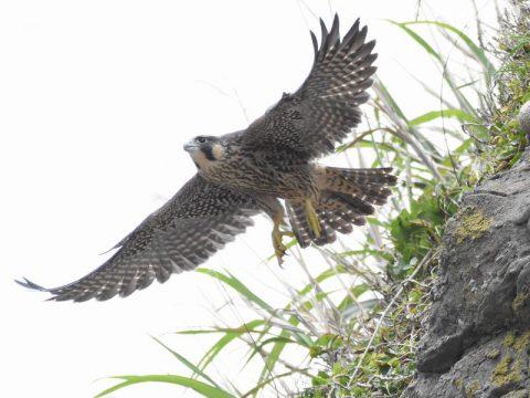 『岩場から飛び出す』(ハヤブサ)食事を終えて岩場から飛び立つところ。時には空中で小鳥を捕食する事もありました。会員番号:2329