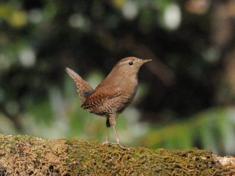 『日本で最小の小鳥さん』(ミソサザイ)羽根の色彩と模様は豊か では有りませんが、小さくて可愛い仕草。尾羽を上げて鳴く姿は無茶苦茶可愛い~です。会員番号:2329