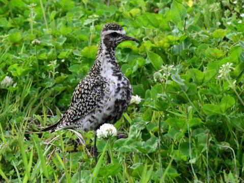 『辺りを警戒する』(ムナグロ) 草地に舞い降りて来たムナグロファミリ。草地で餌探しをしながらも、警戒してしきりに辺りを見回していました。会員番号:2329