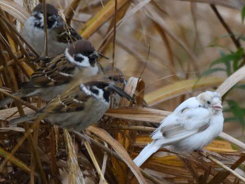 『珍しいお客さん』(白いスズメ)葦原にスズメの群れ。この中に一羽だけ白い雀が居いました。かなり目立つ存在です。会員番号:2329