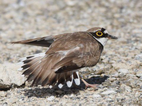『擬傷行動』(コチドリ) 営巣の卵や子供を守る 為、外敵(猛禽類など)が 近くに来ると親鳥は傷つい た様にして、外敵を巣から 遠ざけます。会員番号:2329