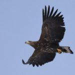 『悠然と飛翔』(オジロワシ)大きく羽根を広げて頭上を通過して行く姿は見応えがありました!会員番号:2329