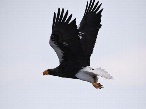 『ダッシュ』(オオワシ)獲物目がけて勢い良く飛び出すのを捉えるは難しかった。会員番号:2329