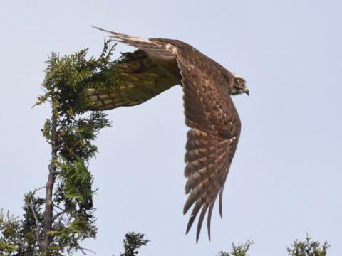 『一気に飛び出す』( サシバ)高い木の一番上から獲物を見つけ、狙った地上の獲物にアタック。野鳥の視力は凄い!会員番号:2329